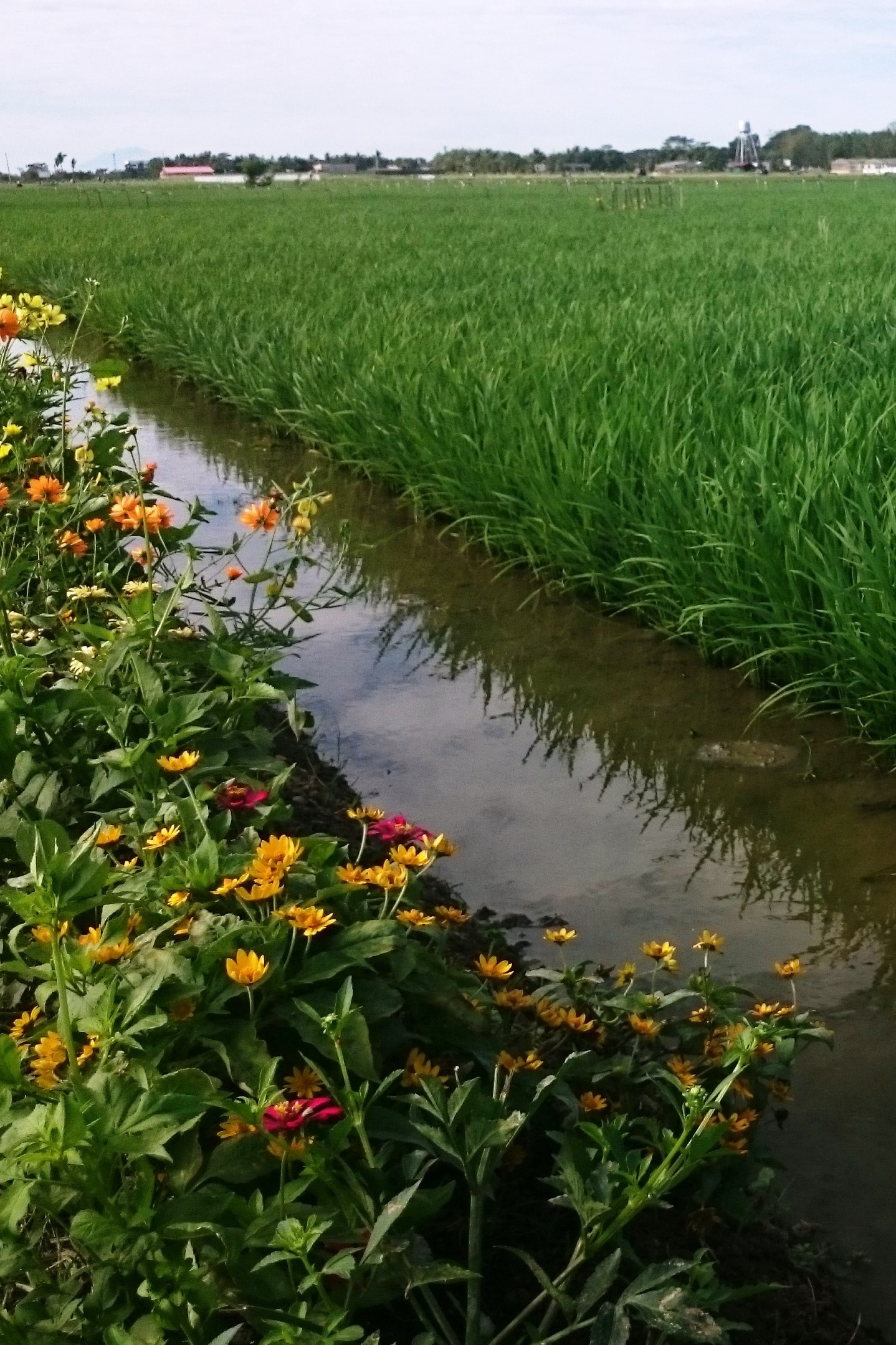 Rice field and flower stripe