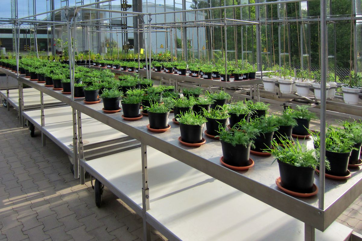 Pot experiment to study bacterial dynamics in soils. Photo: Thomas Reitz/UFZ
