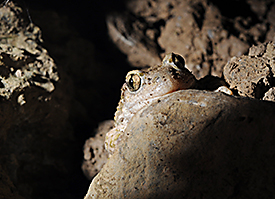 The midwife toad(<i>Alytes obstetricans</i>)
