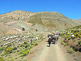 Nomadic Berber herdsmen from the ethnic group of the Aїt Toumert move their herds to their summer pastures in Morocco's High Atlas. Photo: Dr. Gisela Baumann/University of Cologne