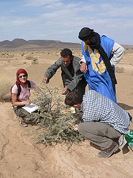 Pastoral nomads in Morocco' south-eastern drylands have an impressive ecological knowledge on the quality and availability of forage plants on their pastures. Photo: Dr. Gisela Baumann/University of Cologne