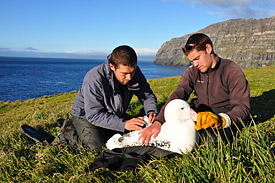 Researchers on Crozet fitting a transmitter on a wandering albatross.