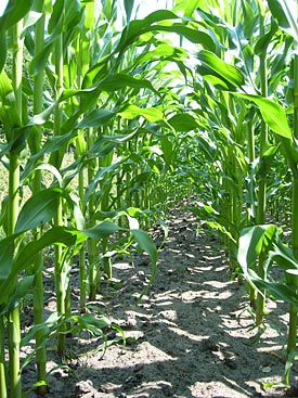 Cultivation of Maize