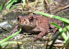 All in all, the scientists found 10 amphibian species in the surveyed ponds, including species like the Common Toad