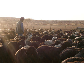 Herder of Karakul sheep in Namibia
