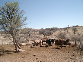 Cattle on Nambian farmland