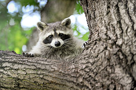 The North American Raccoon
