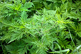 Common Ragweed