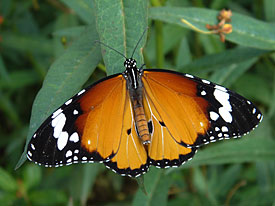 Kleine Monarch (Danaus chrysippus)
