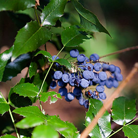 The Oregon Holly Grape (Mahonia aquifolium)