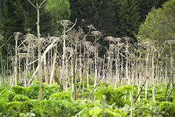 The Giant Hogweed (Heracleum mantegazzianum)