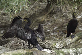 Cormorant (<i>Phalacrocorax carbo</i>)