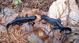 The Alpine newt (<i>Mesotriton alpestris</i>) is the only known tailed amphibian with more than one MHC II locus.
