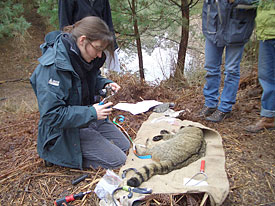 Nina Klar put a transmitter to an anaesthetized wildcat to monitor the moving patters.