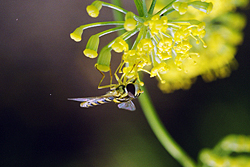 Syrphid fly on a fennel flower