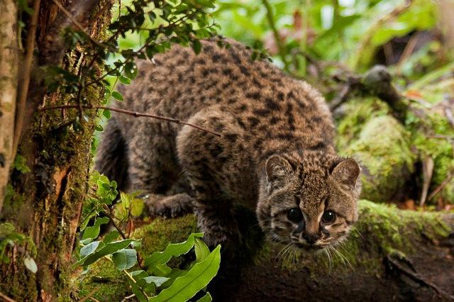 90696_Leopardus%20guigna%20%20captura%20