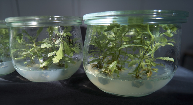 Oaks in preserving jar.