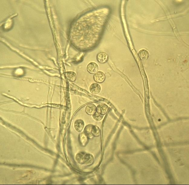 The root pathogen: Phytophthora quercina