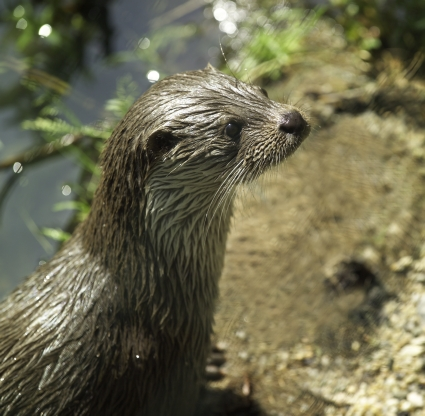Eurasien otter, Photo A. Kunzelmann