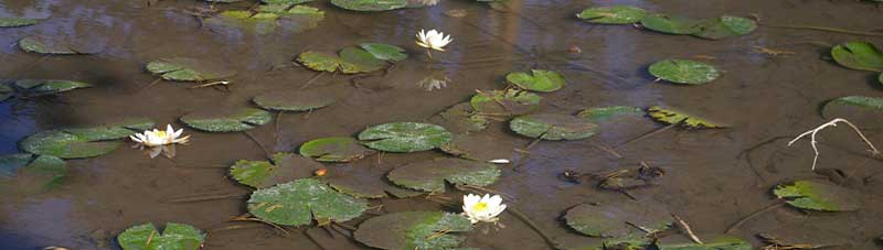 Waterlilies, Photo J. Freyhof
