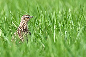 The Eurasian Skylark is the most common open land field bird in central Europe.