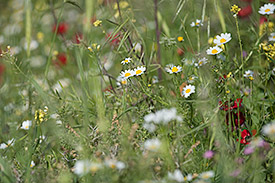 Meadow with a lot of different plant species Photo: André Künzelmann, UFZ